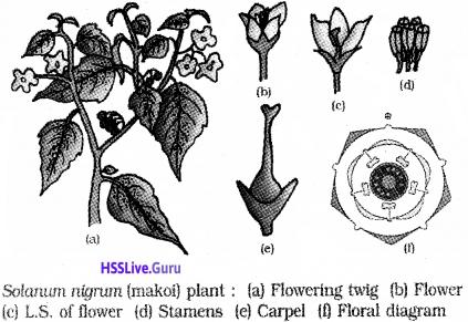 Plus One Botany Notes Chapter 3 Morphology of Flowering Plants 22 (2)