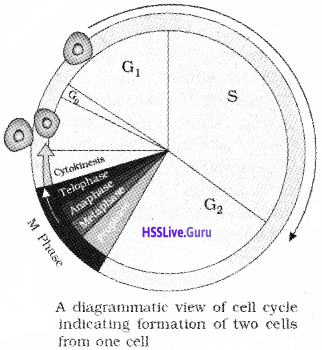 Plus One Botany Notes Chapter 6 Cell Cycle and Cell Division 1